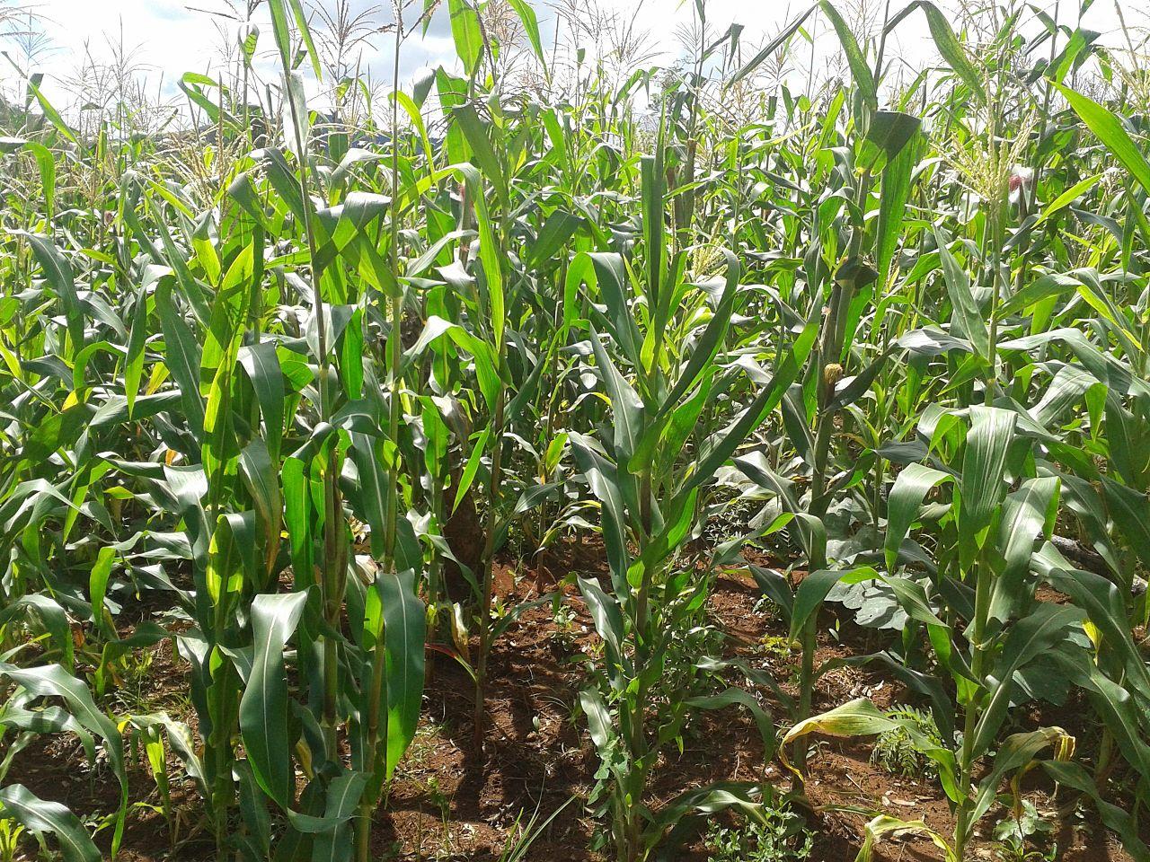 Maize farm-Tanzania