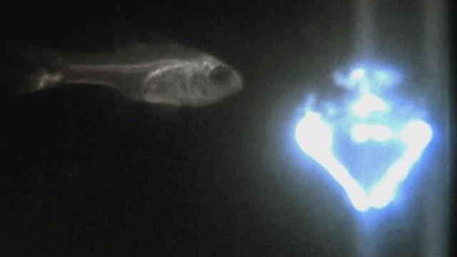 ostracod-bioluminescence