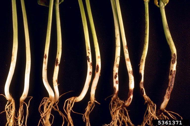Rhizoctonia solani symptoms on bean roots