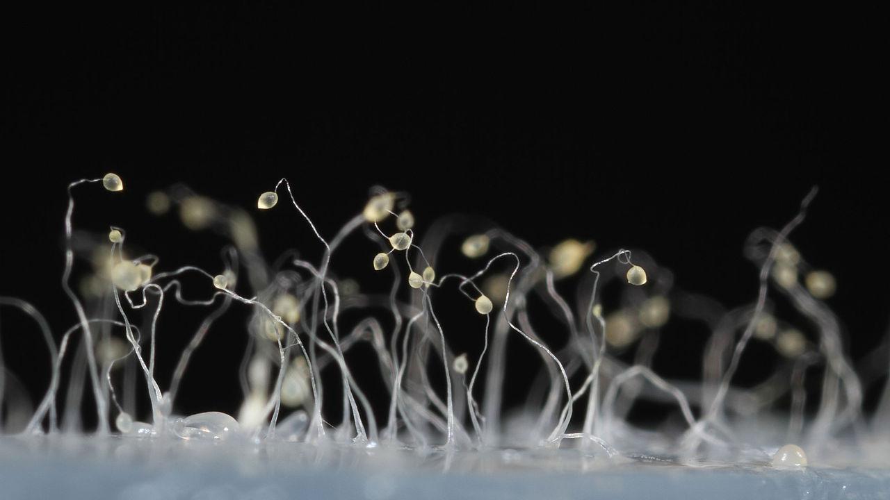 Dictyostelium discoideum 43